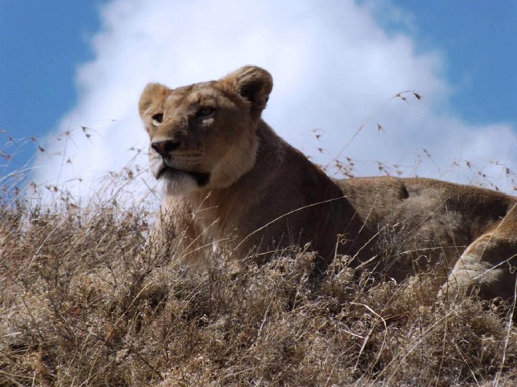 Zdjęcia: Kaldera Ngorongoro, Arusha, Wladca Ngorongoro, TANZANIA