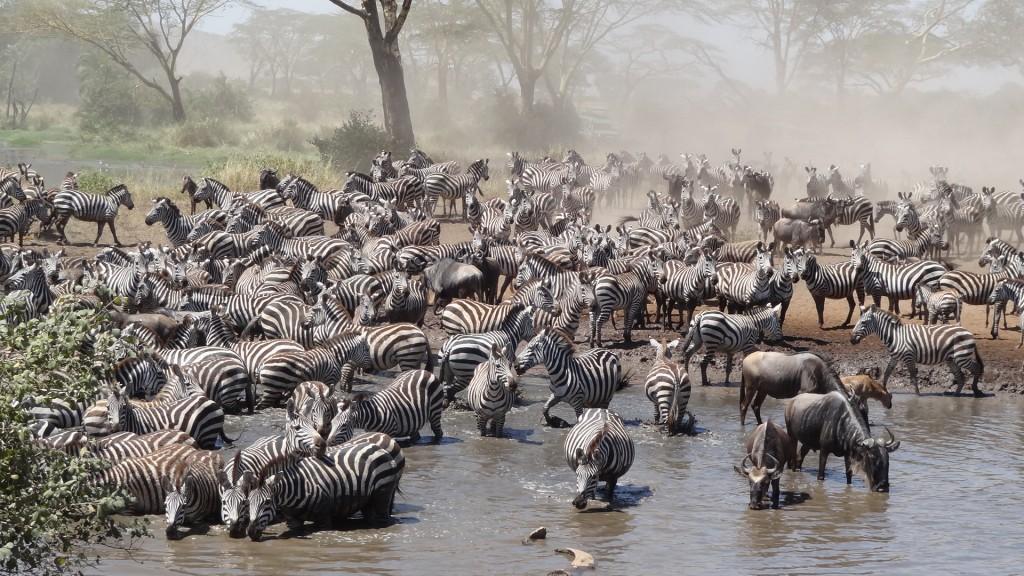 Zdjęcia: Serengeti, Zebry ... Pić się chce, TANZANIA
