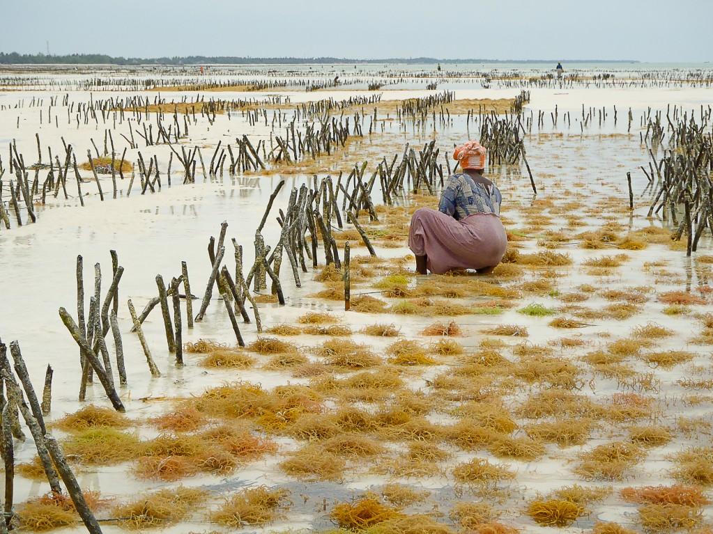 Zdjęcia: Jambiani, Zanzibar, Rolnictwo, TANZANIA