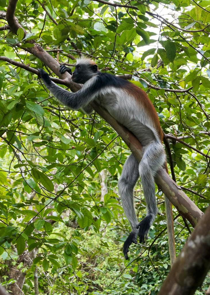 Zdjęcia: Jozani Forest, Zanzibar, Pora odpocząć, TANZANIA