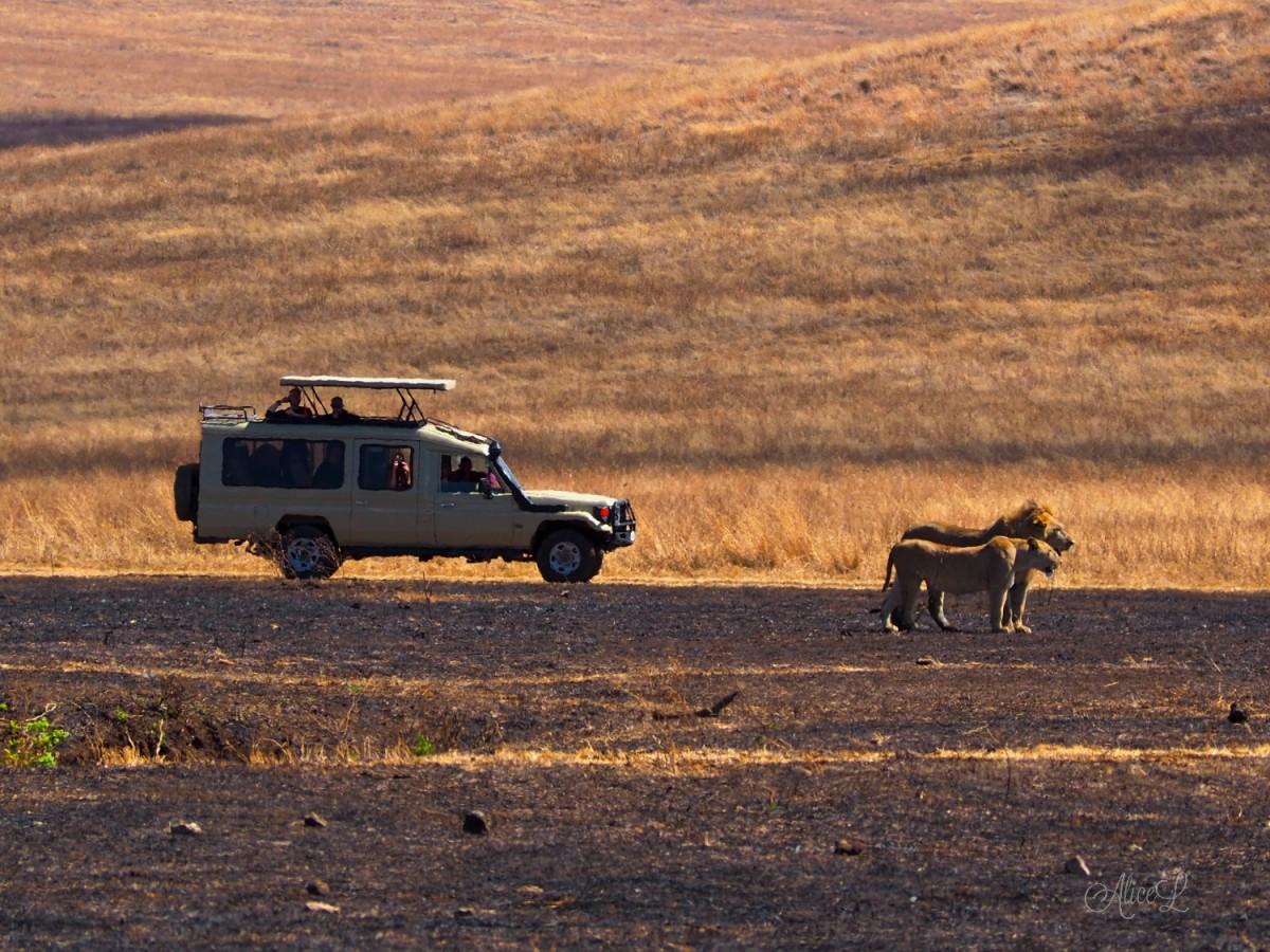 Zdjęcia: Ngorongoro, Północ, Ngorongoro2- bardzo dzikie zwierzęta, TANZANIA