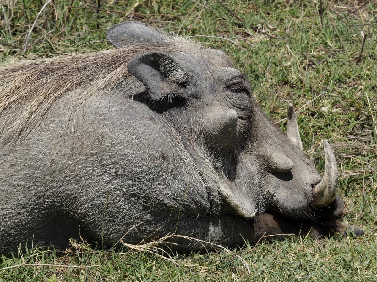 Zdjęcia: Serengeti, afryka wschodnia, Pumba, TANZANIA