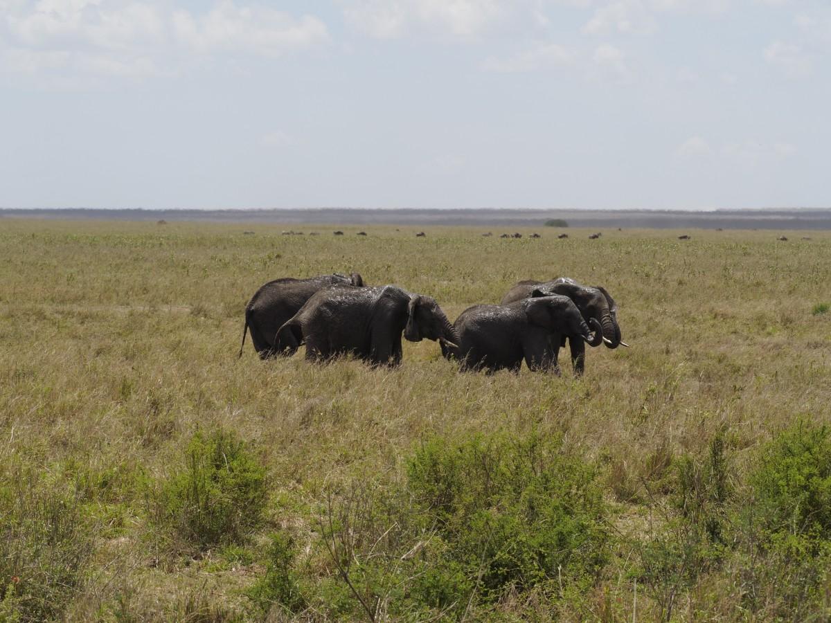 Zdjęcia: Serengeti, afryka wschodnia, w grupie, TANZANIA