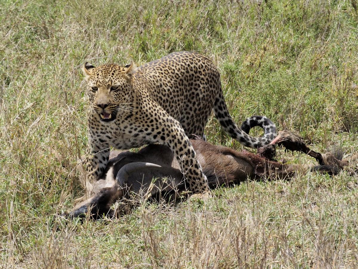 Zdjęcia: Serengeti, afryka wschodnia, Zdobycz, TANZANIA