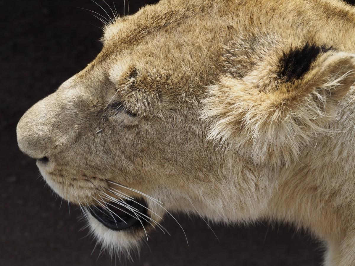 Zdjęcia: Ngorongoro, afryka wschodnia, królowa, TANZANIA