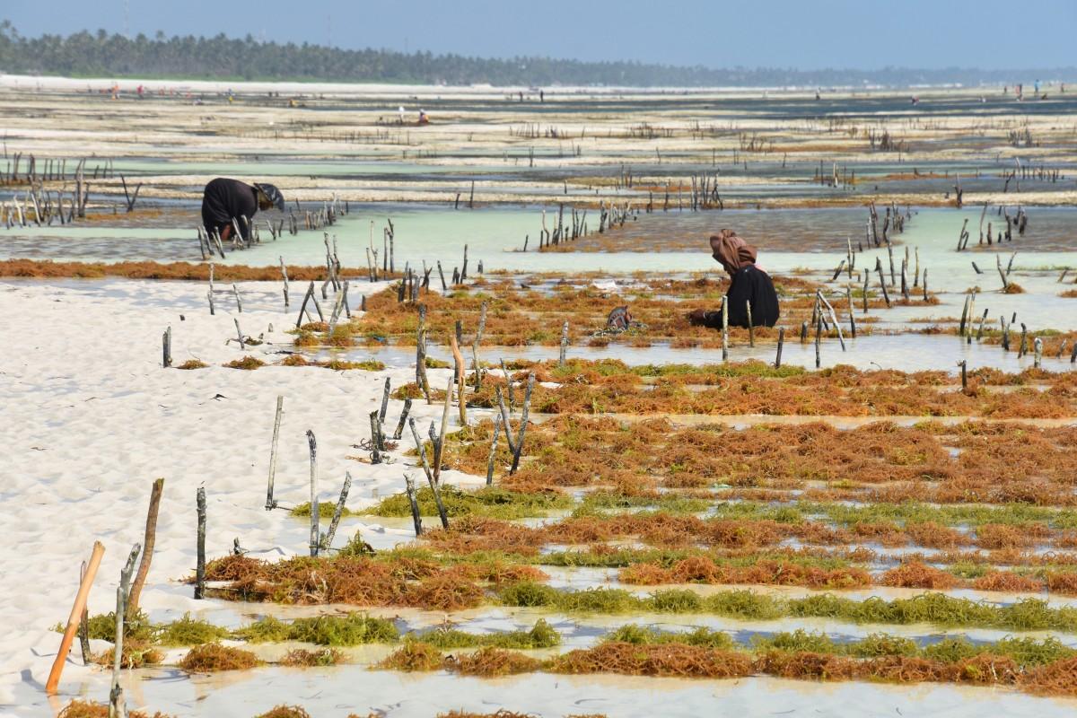 Zdjęcia: wschodnie wybrzeże, Zanzibar, Hodowla alg, TANZANIA