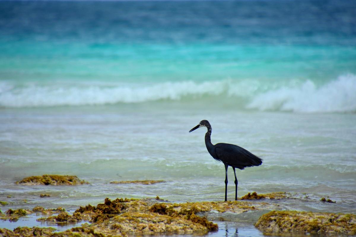 Zdjęcia: wschodnie wybrzeże, Zanzibar, czarna czapla, TANZANIA