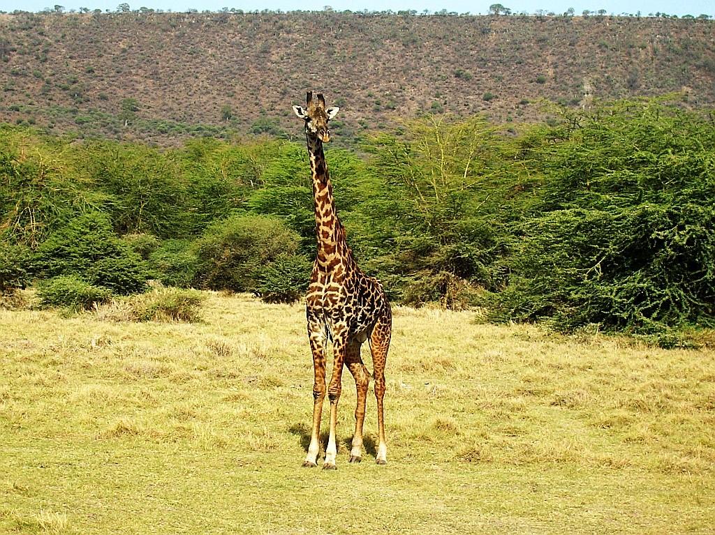 Zdjęcia: j.w., P.N. Jezioro Manyarra, żyrafa, TANZANIA