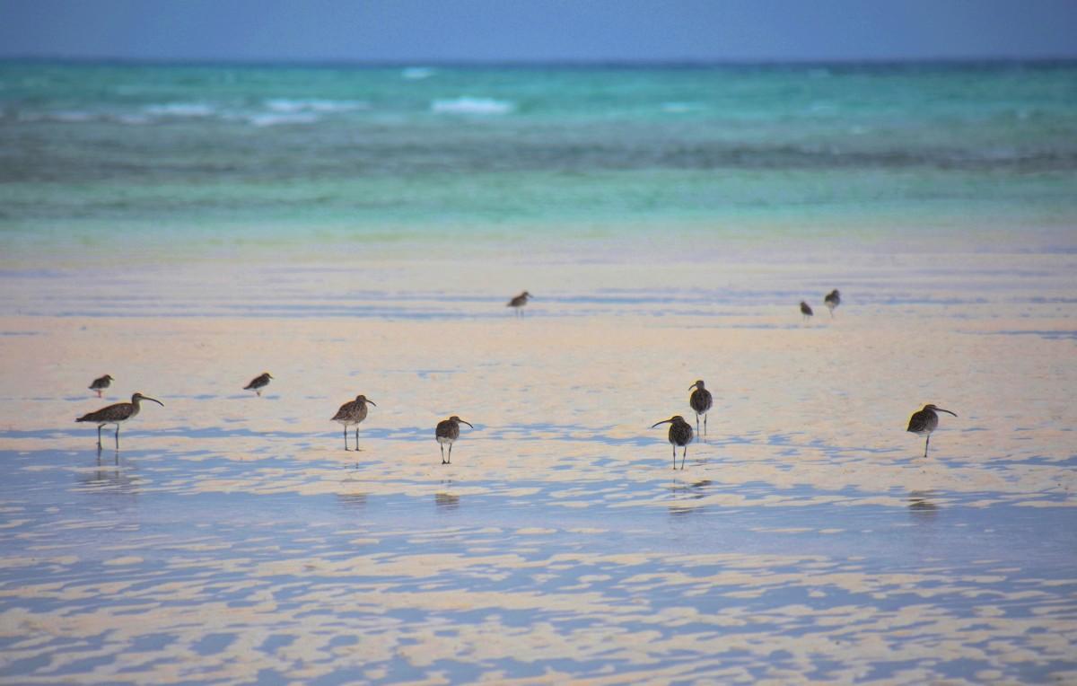 Zdjęcia: wybrzeże wschodnie, Zanzibar, Siewkowate, TANZANIA