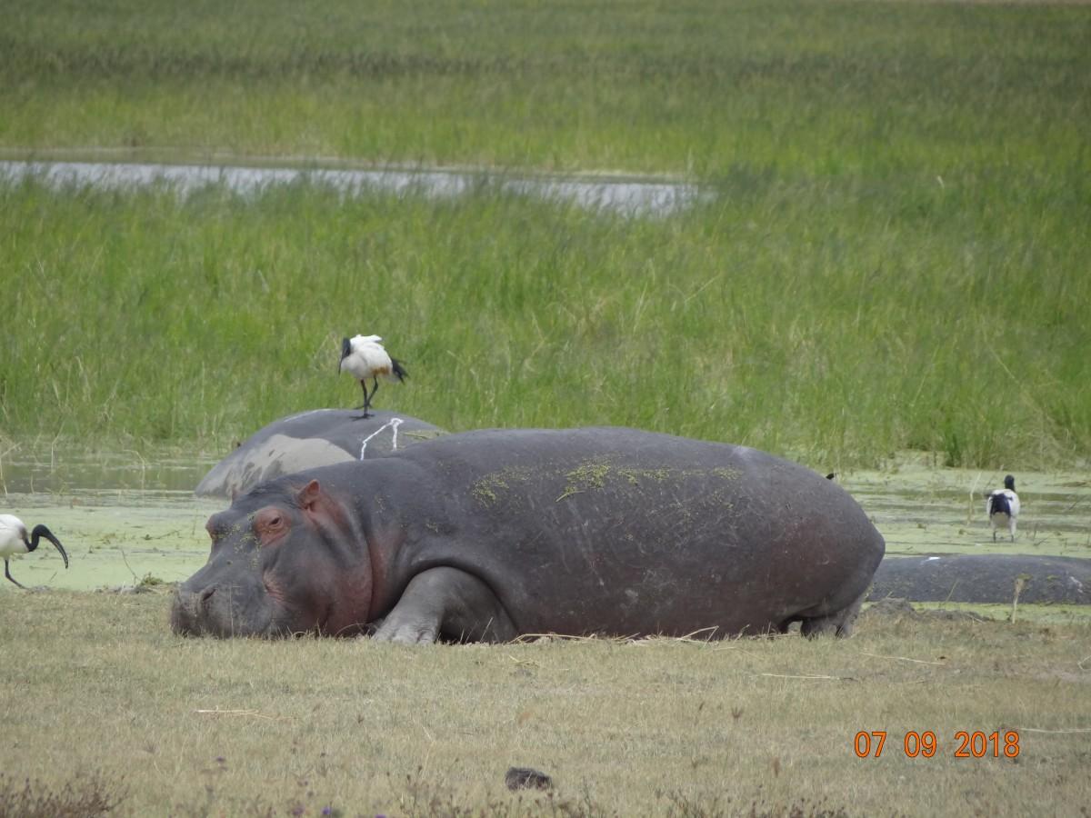 Zdjęcia: Ngorongoro , Ngorongoro, hipo, TANZANIA