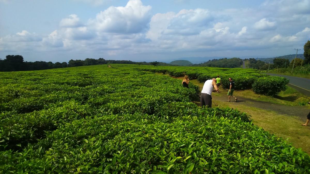 Zdjęcia: afryka, plantacja herbaty, TANZANIA