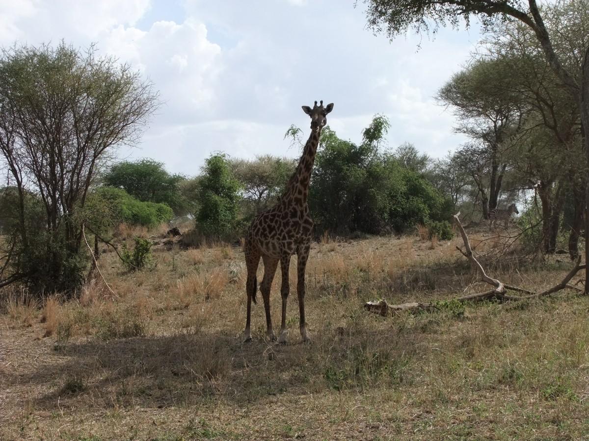 Zdjęcia: Terengire, Afryka Środkowa, Safari w Parku Terengire, TANZANIA