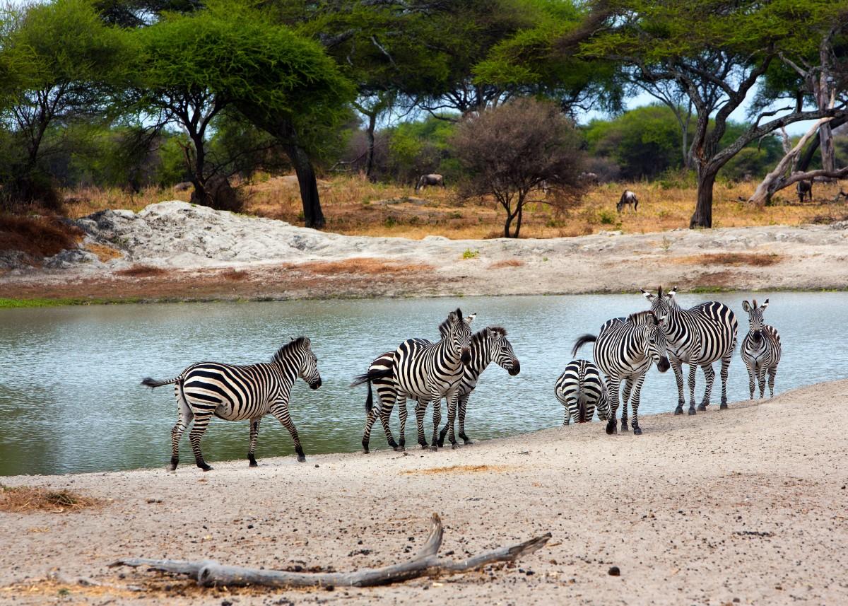 Zdjęcia: Serengeti, Serengeti, Zebry w Serengeti, TANZANIA