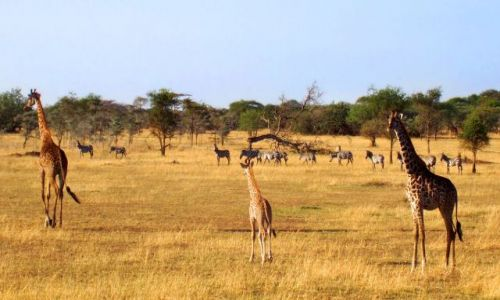 Zdjecie TANZANIA / Serengeti / Serengeti / Rodzina