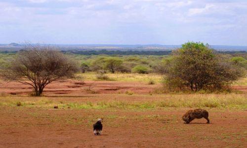 Zdjęcie TANZANIA / Serengeti / Serengeti / Czekamy na ochłap