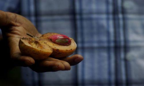 Zdjecie TANZANIA / Zanzibar / Plantacja przypraw / gałeczka muszkatałowa :)