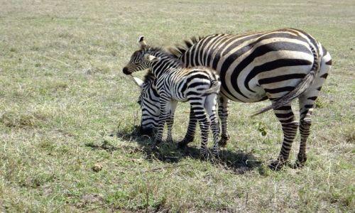 Zdjecie TANZANIA / Afryka / PN Serengetii / true love