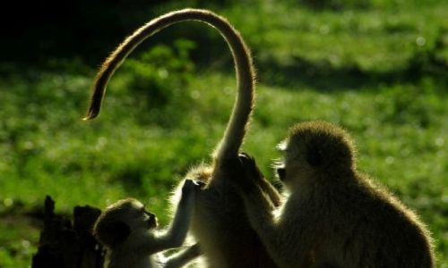 Zdjecie TANZANIA / Afryka / PN Serengetii / wszechobecne pchliska :D