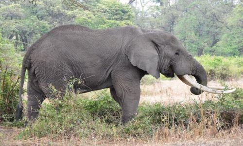 Zdjęcie TANZANIA / - / Krater Ngorongoro / Słoń z Ngorongoro