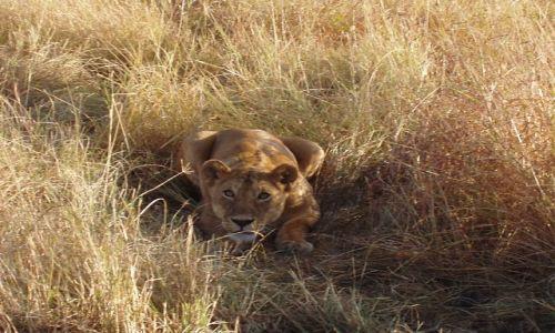 Zdjecie TANZANIA / Serengeti / Serengeti / Gotowa do skoku