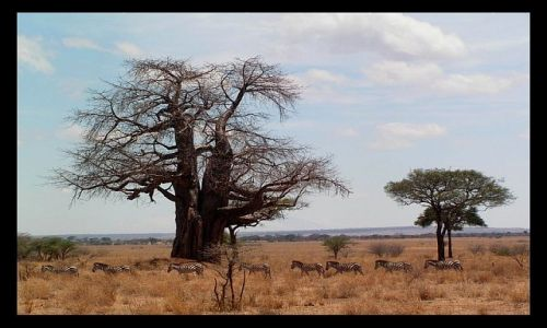 TANZANIA / północna Tanzania / P. N. Tarangire / Baobaby i zebry