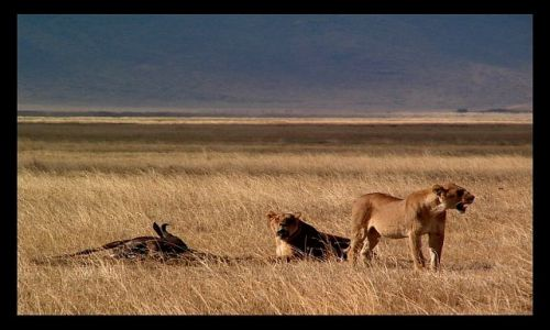 Zdjęcie TANZANIA / północna Tanzania / krater Ngorongoro / Po posiłku...
