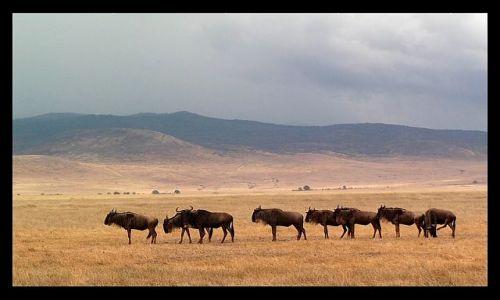 Zdjęcie TANZANIA / północna Tanzania / krater Ngorongoro / W grupie bezpieczniej