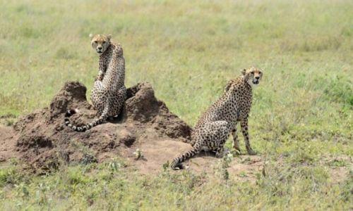 Zdjecie TANZANIA / - / Serengeti / Kocurki