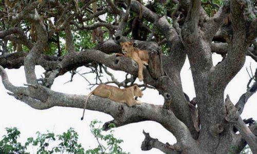 Zdjecie TANZANIA / - / Serengeti / Inne kocurki