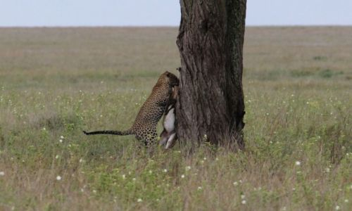 Zdjecie TANZANIA / Park Narodowy Serengeti / Park Narodowy Serengeti / Czas na śniadanie - druga próba