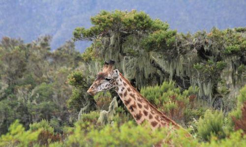 Zdjęcie TANZANIA / Arusha National Park / Arusha National Park / Zza drzew
