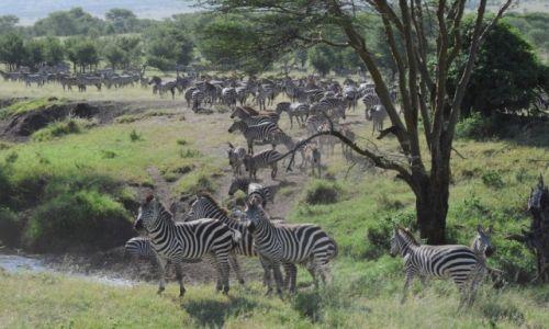 Zdj�cie TANZANIA / Park Narodowy Serengeti / sawanna / W kolejce do wodopoju