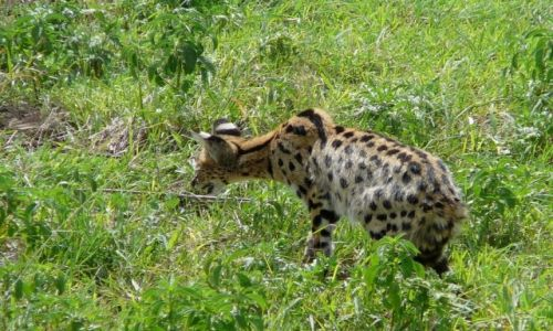 Zdjecie TANZANIA / PN Ngorongoro / trawy sawanny / Serwal
