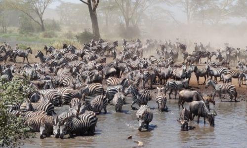 Zdjecie TANZANIA / - / Serengeti / Zebry ... Pić się chce