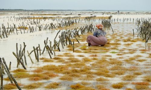 Zdjecie TANZANIA / Zanzibar / Jambiani / Rolnictwo