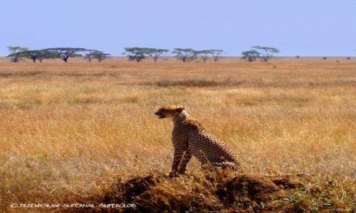 Zdjecie TANZANIA / Serengeti / Serengeti / Model na wybiegu