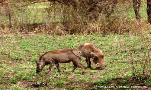 Zdjecie TANZANIA / Serengeti / Serengeti / Guziec - najbrzydsze zwierzę świata?