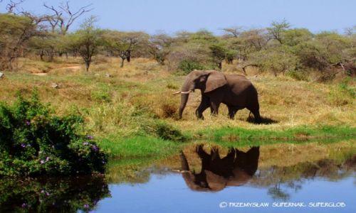 Zdjecie TANZANIA / Serengeti / Serengeti / Samotny słoń