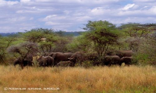 Zdjecie TANZANIA / Serengeti / Serengeti / Stado słoni