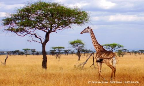Zdjecie TANZANIA / Serengeti / Serengeti / Żyrafa