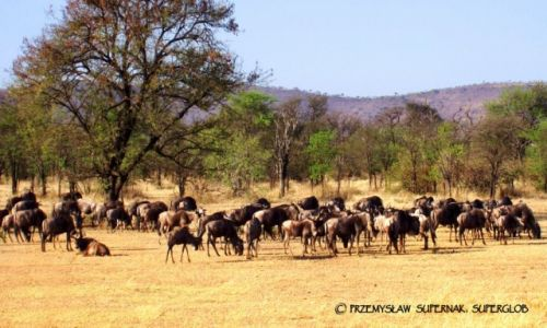 Zdjecie TANZANIA / Serengeti / Serengeti / Stado antylop gnu