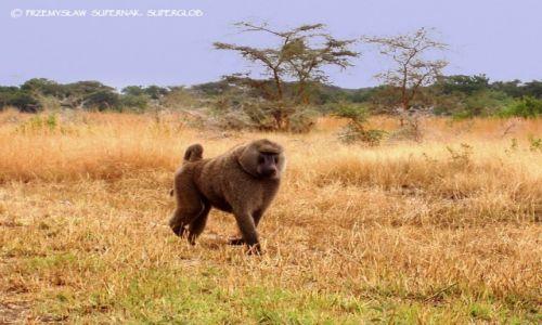 Zdjecie TANZANIA / Serengeti / Serengeti / Pawian alfa