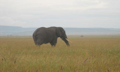 Zdjecie TANZANIA / arusha / w serengeti / słoń w serengeti