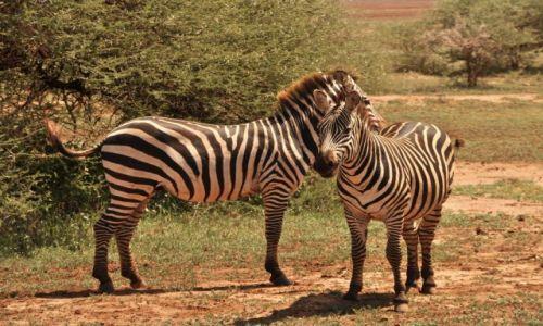 Zdjęcie TANZANIA / Arusha / Park Arusha / Zaczepki:)