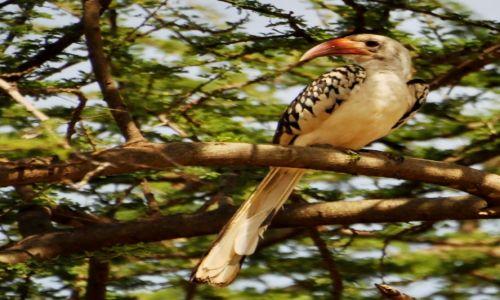 Zdjecie TANZANIA / Arusha / wioska Masajów / Yellowbilled hornbill (chyba...)