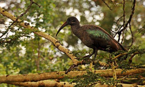Zdjecie TANZANIA / Park Tarangire / Park Tarangire / kto wie co to za ptak?