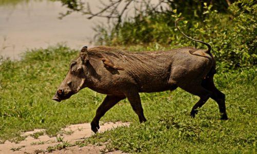 Zdjecie TANZANIA / Park Tarangire / Park Tarangire / Kumple:)
