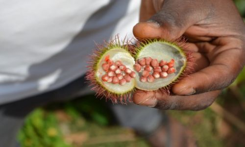 Zdjecie TANZANIA / - / Zanzibar / Owoc drzewa orelańskiego