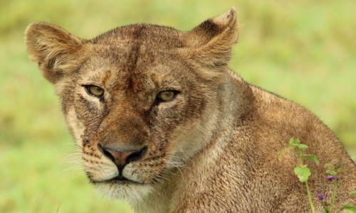 Zdjecie TANZANIA / Serengeti / Serengeti / Lwica
