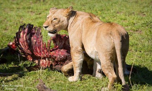 Zdjęcie TANZANIA / Park Serengeti / Park Serengeti / Śniadanie lwów